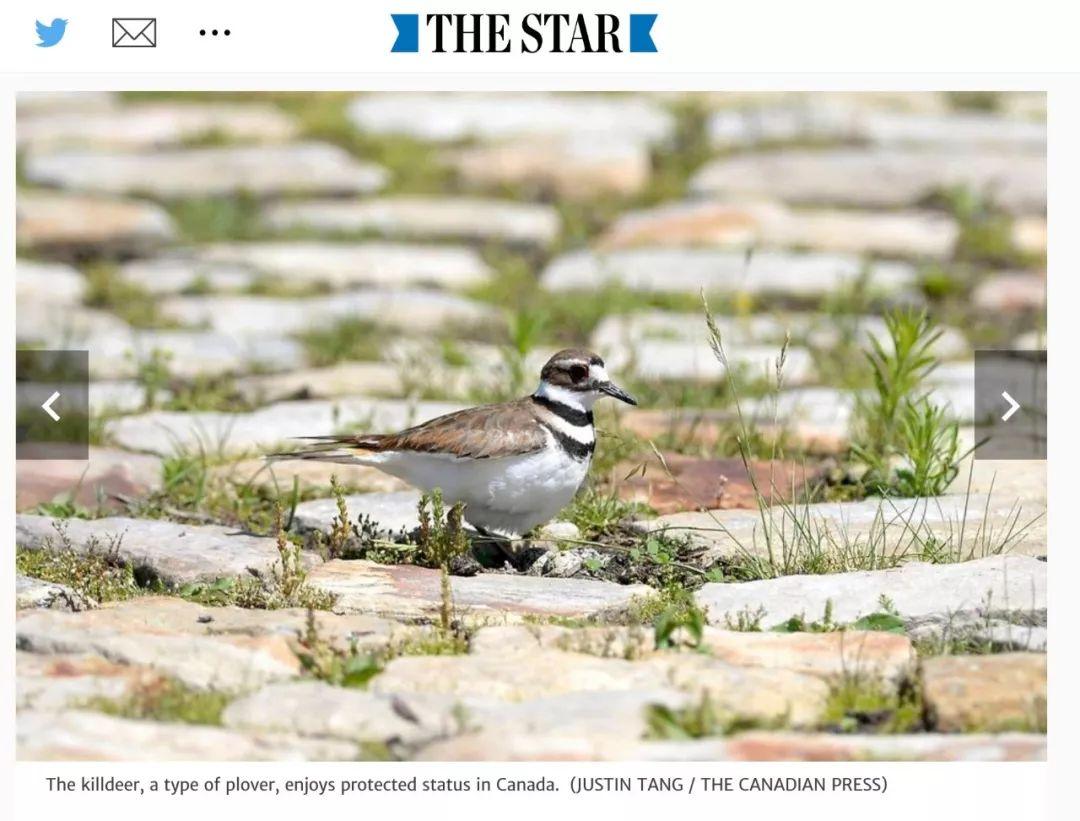 为了一只鸟儿四颗蛋,加拿大三十万人音乐会暂时停摆!